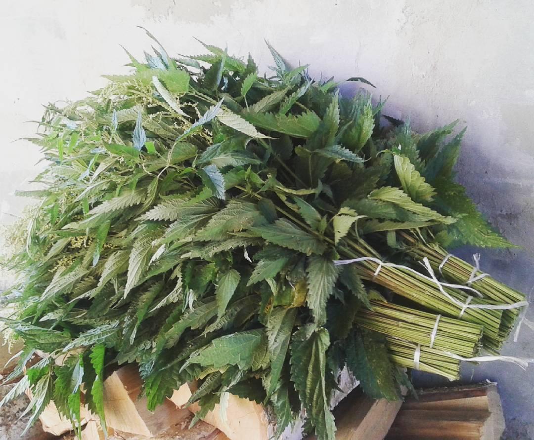 Веник из крапивы для бани: чем полезен, когда собирать, как правильно сделать, заготовить, запарить, париться, эффект лечения