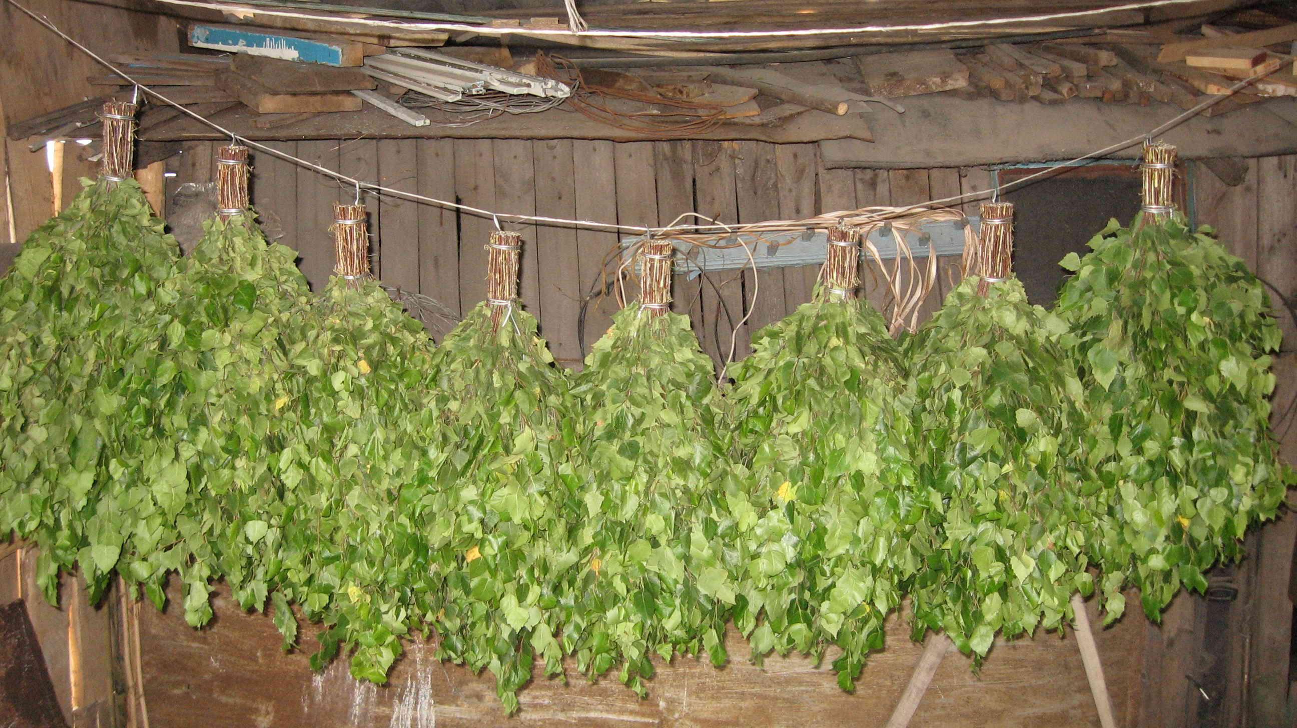 Березовые веники (15 фото): лучше ли они дубовых? польза и вред веников для бани. свойства листьев берез. как хранить веники?