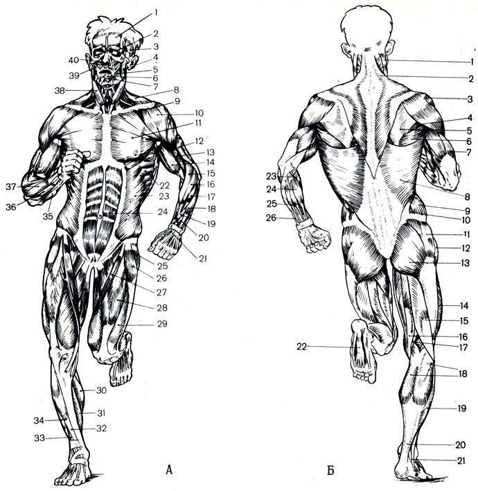 Действие сауны на мышцы
