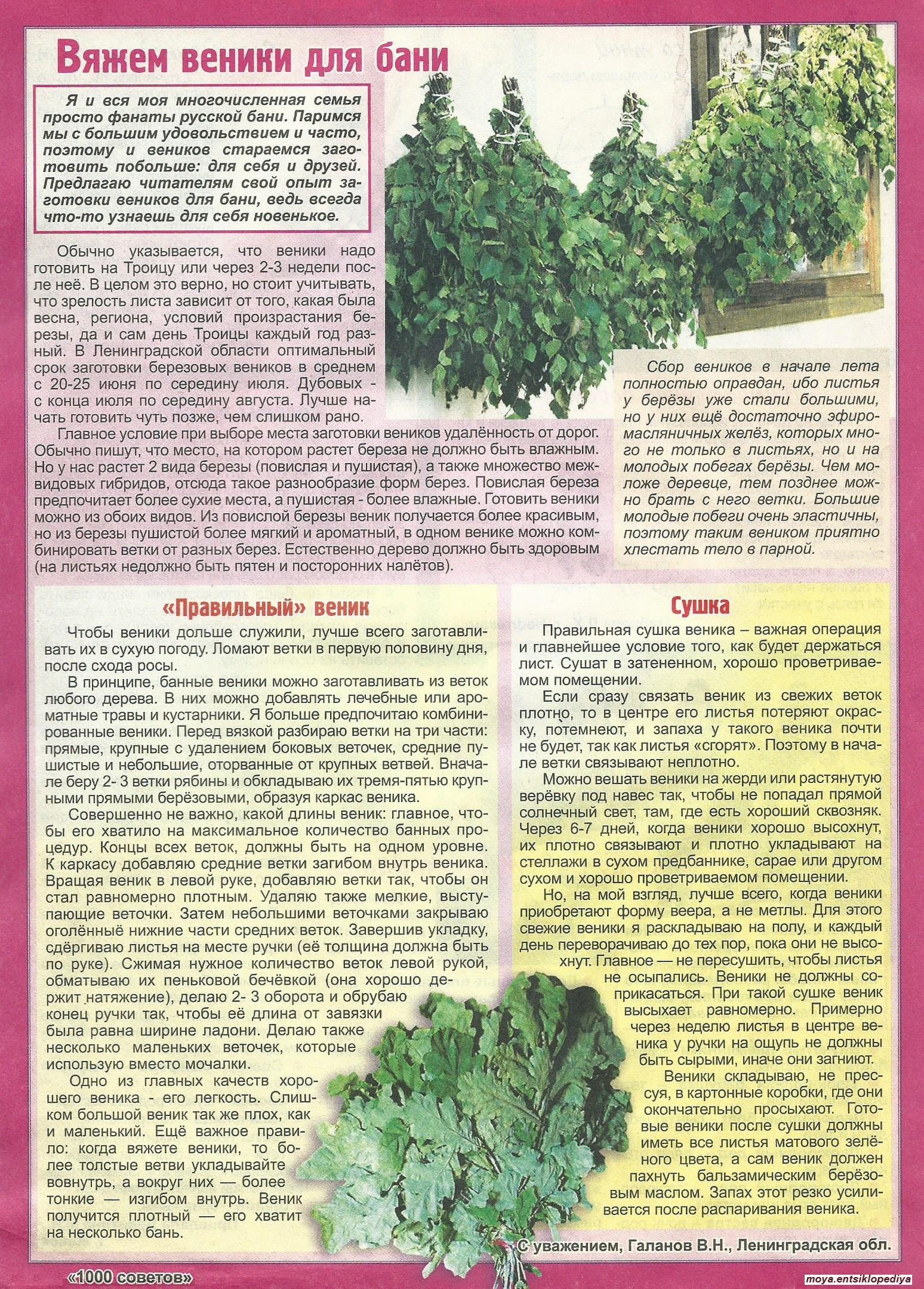 Заготовка березовых веников для бани - инструкция и советы!