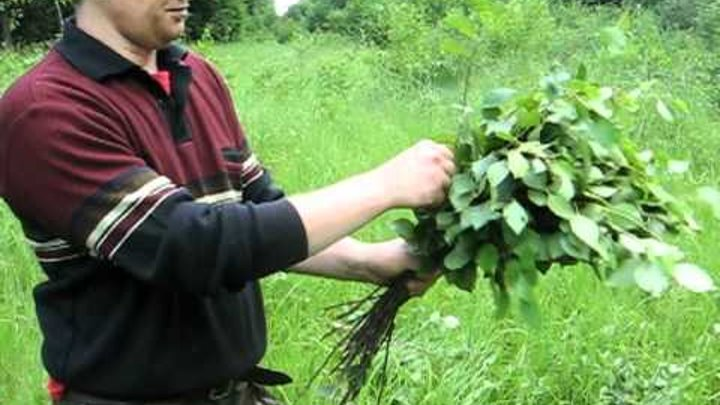 Когда заготавливают березовые веники для бани и когда их собирать? ответы на частые вопросы